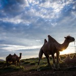 camels in Gobi desert sunset. Mongolia photography